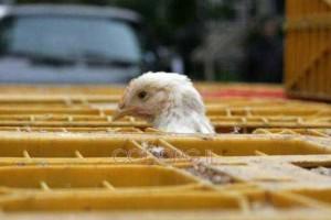 הנחיות למניעת תחלואה בשפעת העופות / מידע לציבור