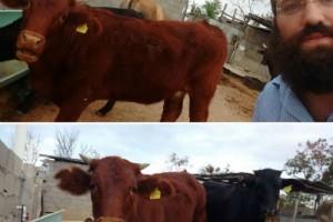 השליח במקסיקו מצא פרה אדומה כשרה לבית המקדש