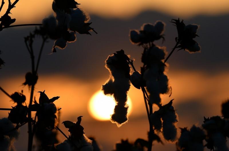 שדות הכותנה - בזריחה: מנדי הכטמן בתיעוד מרהיב • צפו