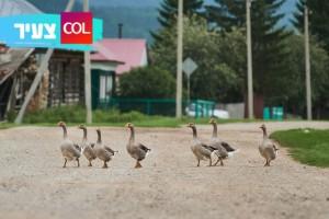 לא תאמינו: יחידה למלחמה בפשיעה בסין – להקת אווזים