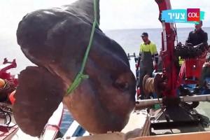 הדג הכבד בעולם נמשה מן המים. הדייגים היו בהלם • צפו